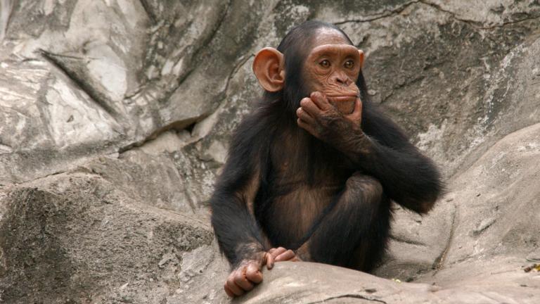 A little chimpanzee (Pan troglodytes) at Dusit Zoo in Bangkok, Thailand.