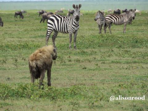Hyena approaching zebras
